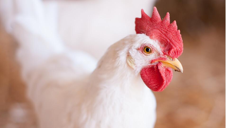 nuestros alimentos avicolas