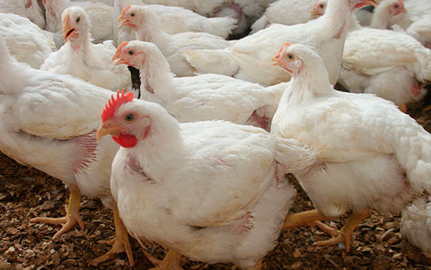 gallinas en globalvet
